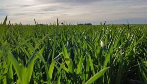 Planificando la siembra de Cebada y Trigo