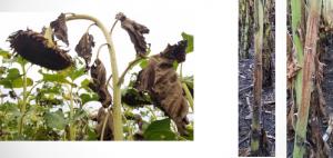 Manejo de Cancro (Phomopsis) en Girasol